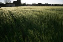 comune cassinetta lugagnano campo grano