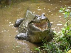 biodiversità coccodrillo foresta amazzonica