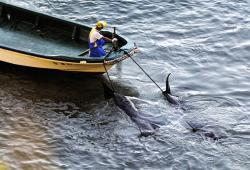delfini giappone pescatore mattanza