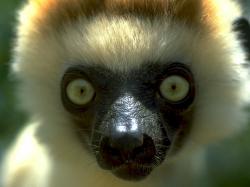 L'era Glaciale Lemure lemure