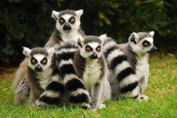 L'era Glaciale Lemure I lemuri vivono in societa