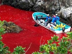 baia taiji sangue delfini mattanza