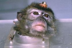 scimmia con elettrodi
