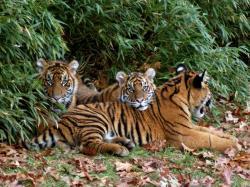 tigri sumatra