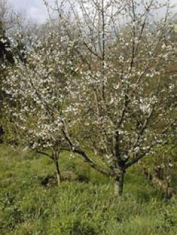 Vivere la decrescita le immagini decrescita felice for Pianta di ciliegio